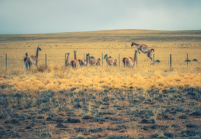 The Guanaco running in the field